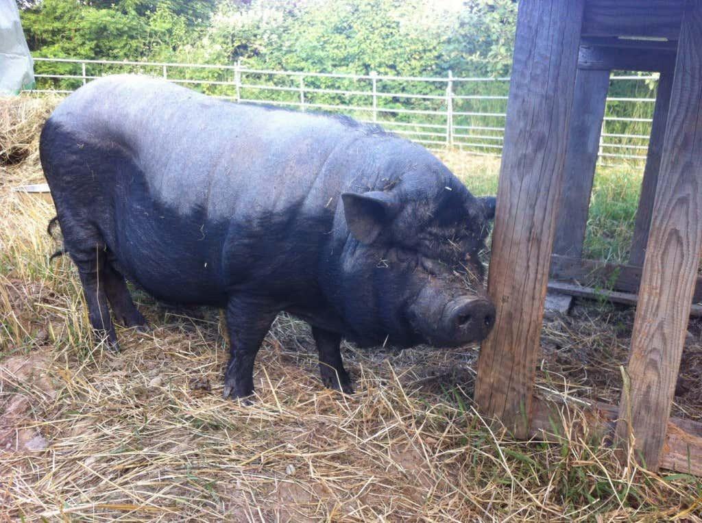 Auch Schweine leben in der Selbstversorger-Akademie