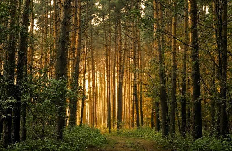 Sonnenlicht durch Fichtenwald