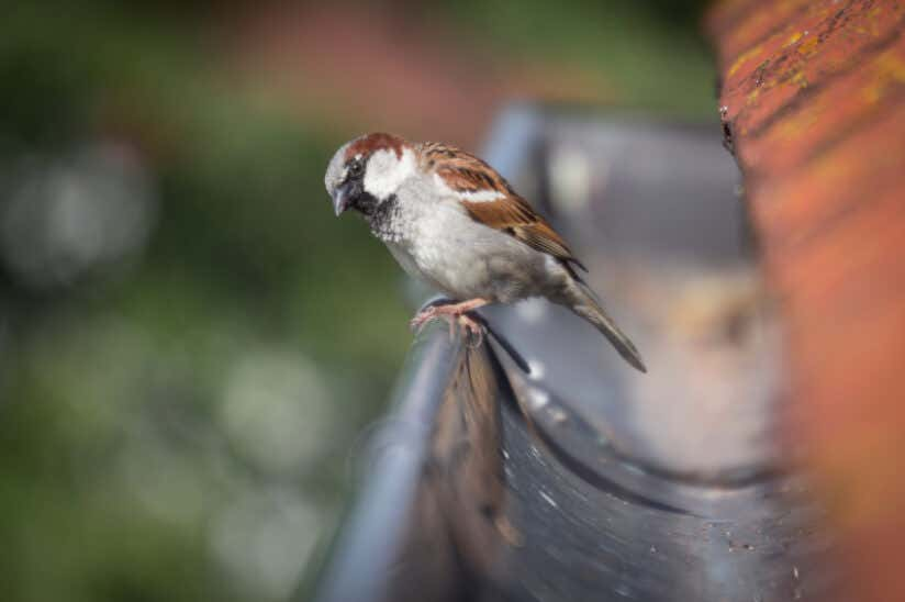 Regenrinne Vogel