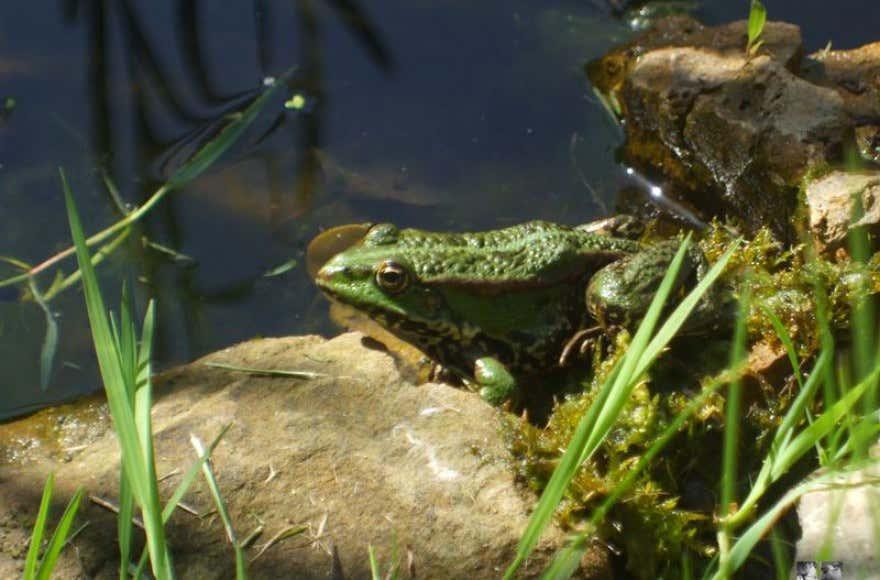 Frosch-am-Teich