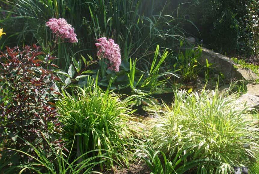 Uferpflanze-am-Teich