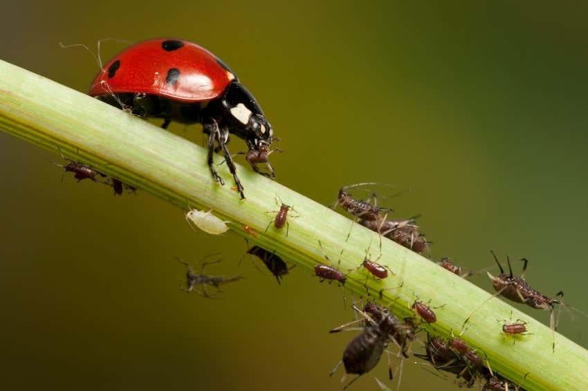 Marienkäfer mögen Blattläuse; Blattläuse jedoch Marienkäfer nicht.