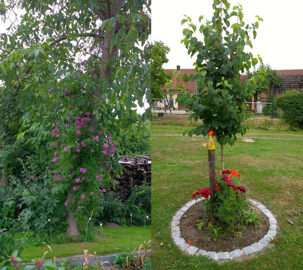 Links: Der alte Walnussbaum Rose Marie Vieaud mit Ramblerrose: Rechts: Der neue Haselnuss-Hausbaum.