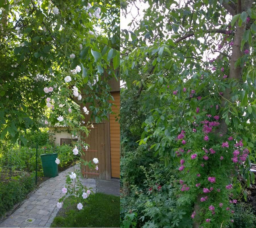 "Links: Ramblerrose ""Paul`s Himalayan Musk"", rechts: ""Marie Vieaud"" im Walnußbaum"