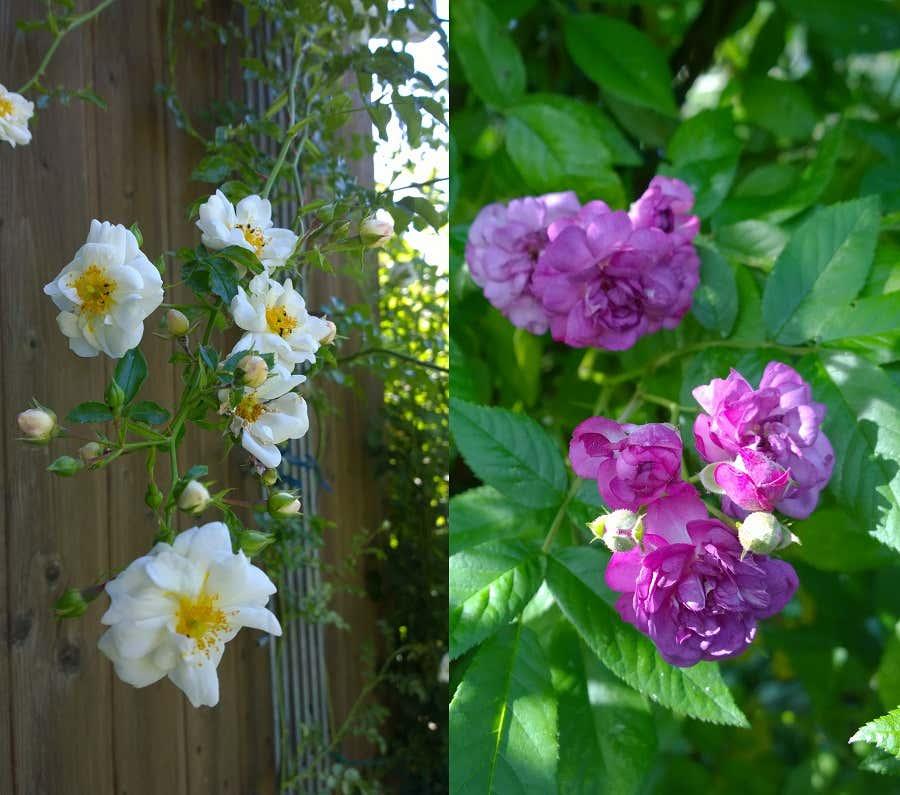 Links: Ramblerrose Snowflake an der Scheune. Rechts: Ramblerrose Marie Vieaud.