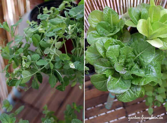 Salat-selbst-angebaut