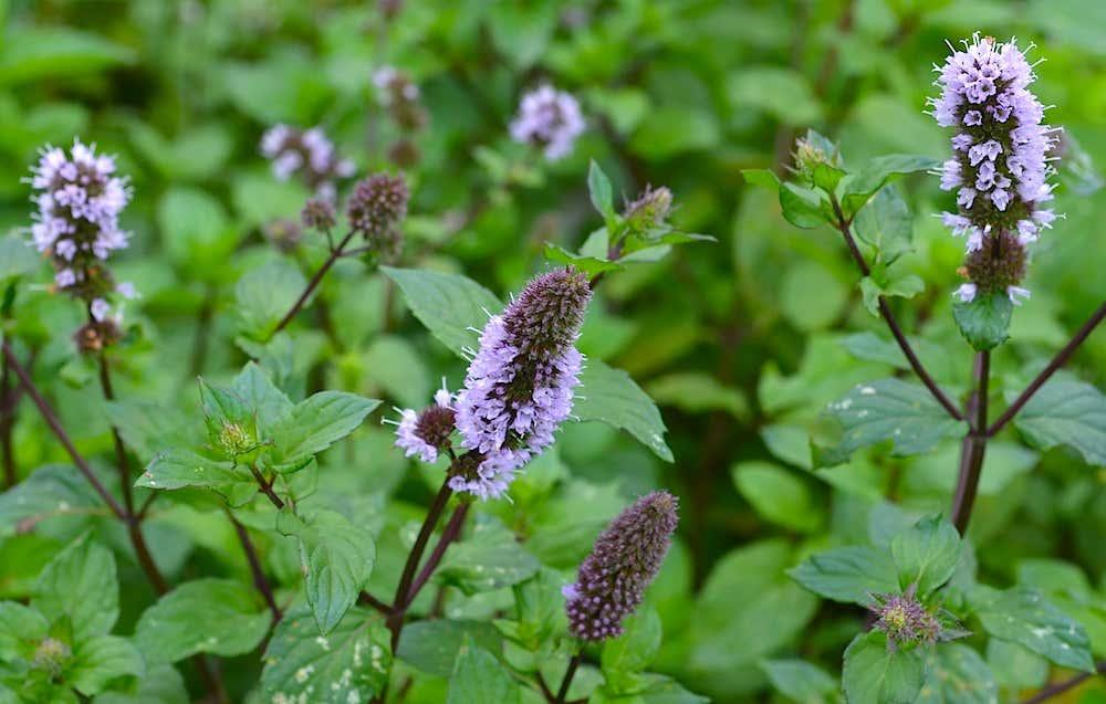 Blühende Minze in Arianes Kräuterhochbeet.