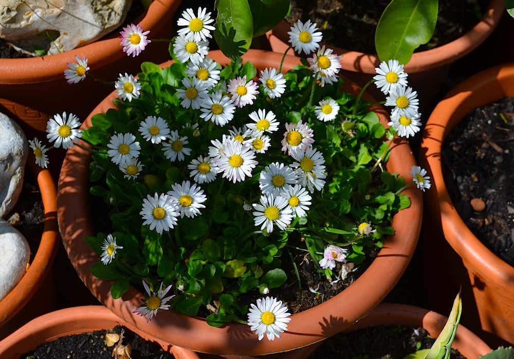 Arianes Bio-Gänseblümchen.