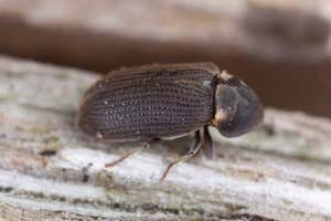 Holzwurm-käfer