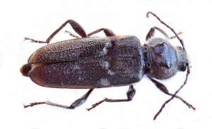 hausbock-käfer