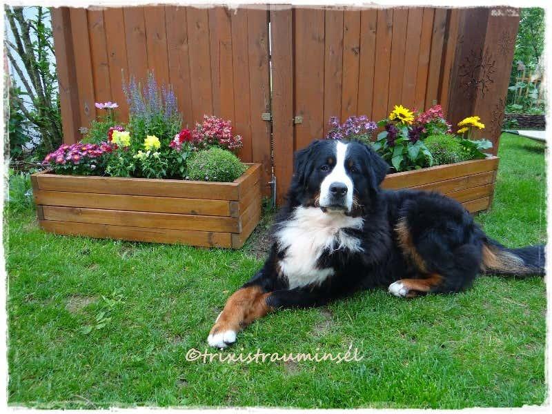 Hund Brunos hat einen neuen Lieblingsplatz bei den Blumentrögen gefunden
