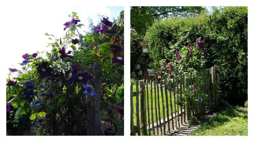 Flieder am Gartenzaun