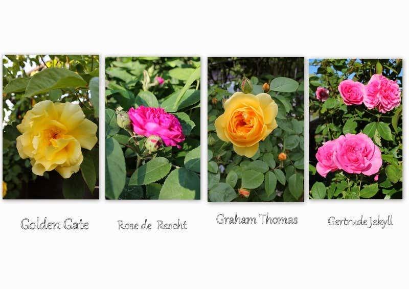 Rosensorten in Pink und Gelb