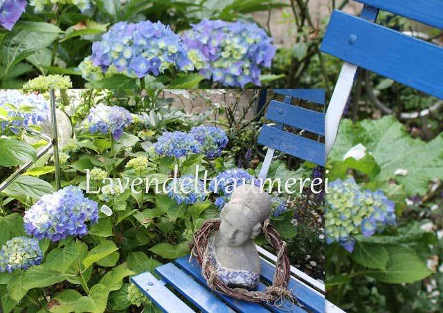 blaue Hortensien mit blauem Gartenstuhl