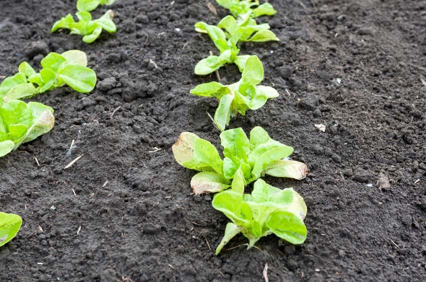 Salat Sprösslinge