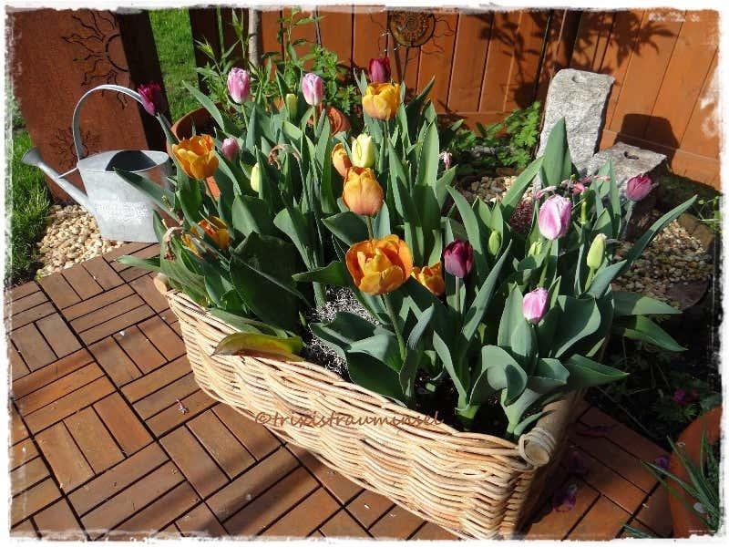 bunte Tulpenpracht auf der Gartenterrasse