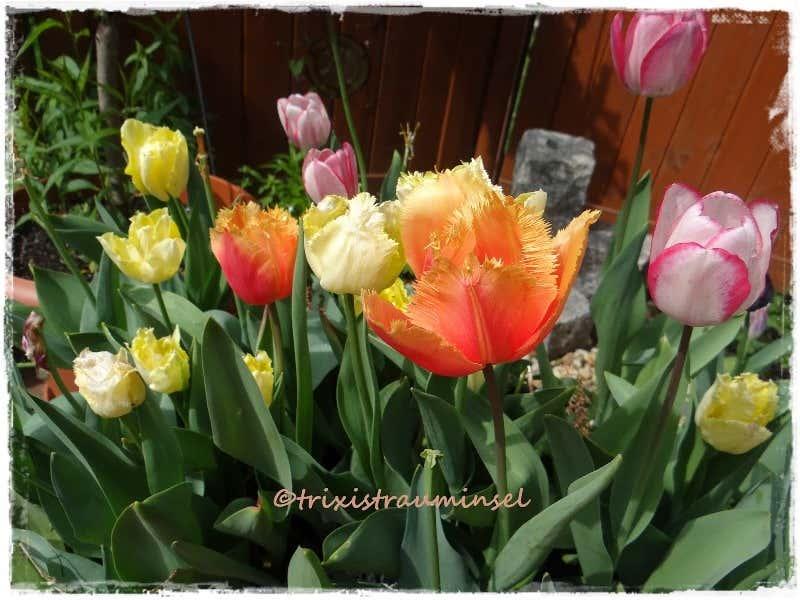 Tulpenbeet im Frühjahr