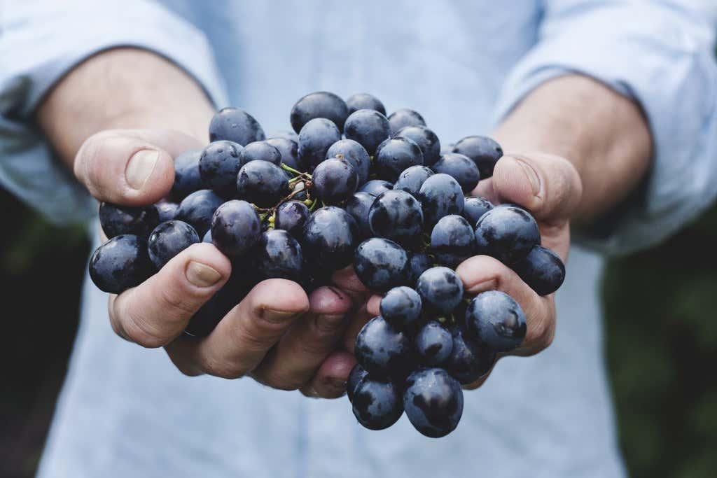Hände halten Weintrauben Rebe
