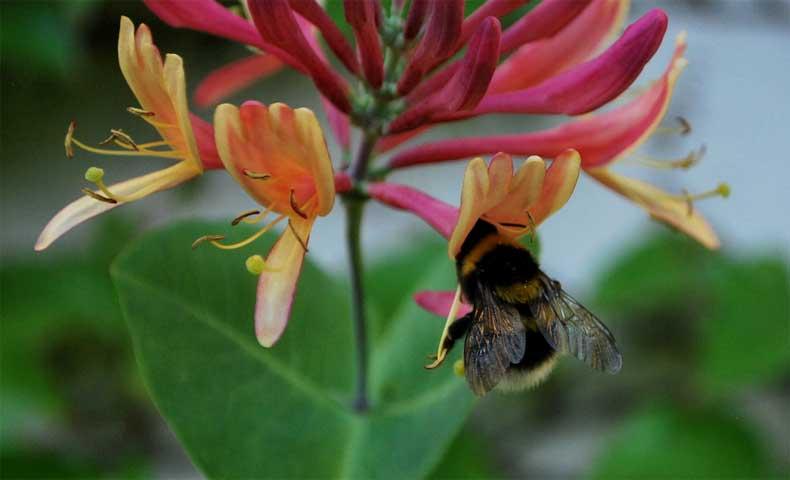 Hummel bestäubt Blüte - Gartenblogs