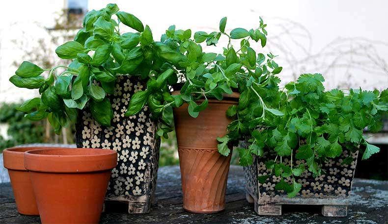Küchenkräuter - Gartenblogs