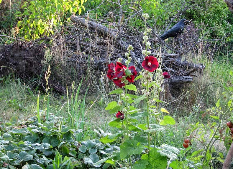 Stockrose vor Totholzhaufen - Gartenblogs