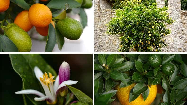 Zitruspflanzen - Gartenblogs