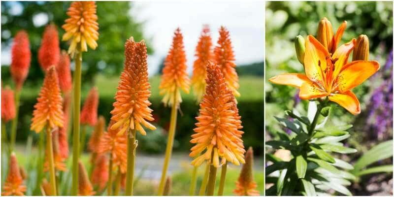 Fackel- und Taglilie