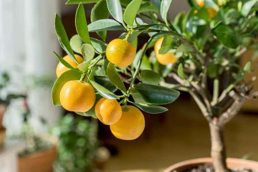 Orangenbaum für die eigene Orangerie