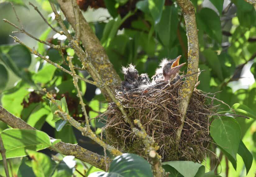 Vogelnest mit Jungen im Garten