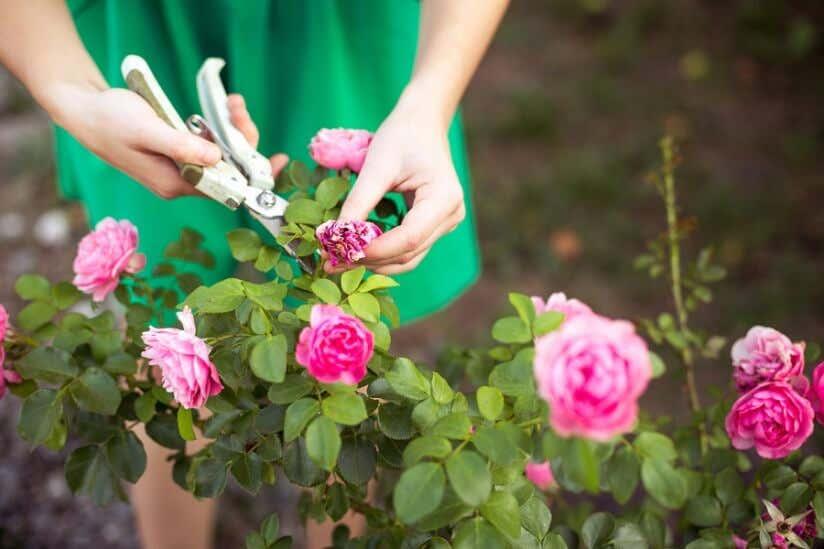 Frau schneidet Rosen mit Schere