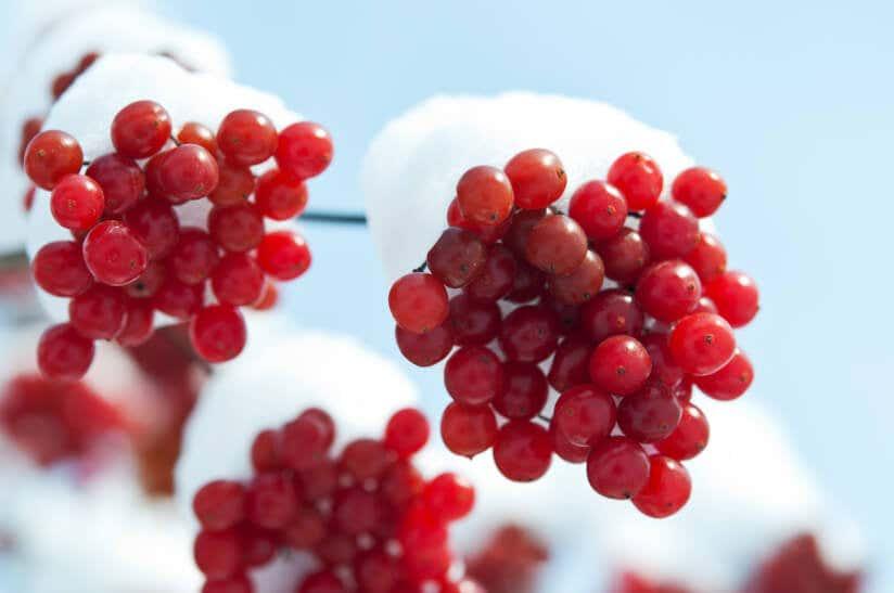 Beeren des Winterschneeballs