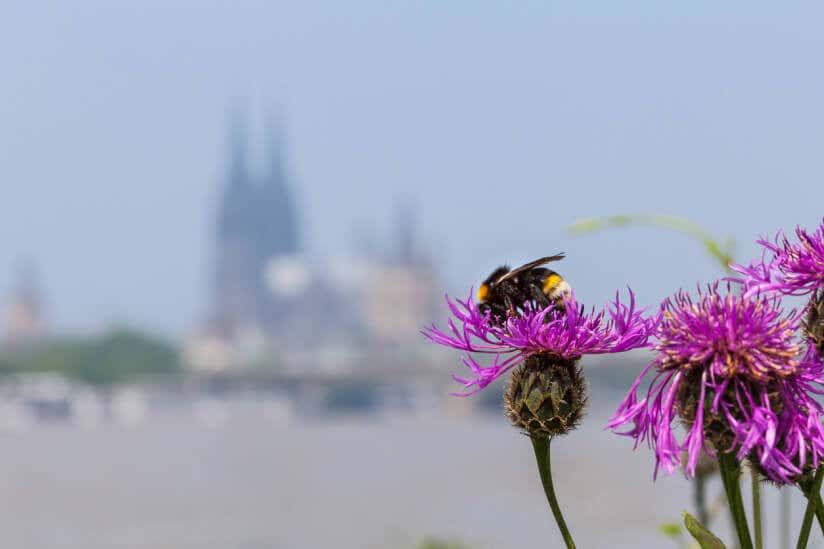 Biene auf einer Blume in einer städtischen Kulisse