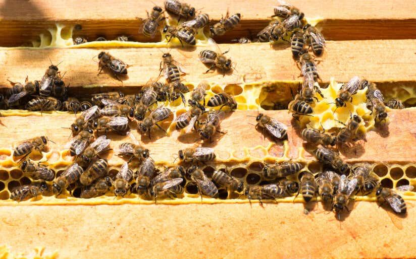 Bienen bei ihrer Arbeit