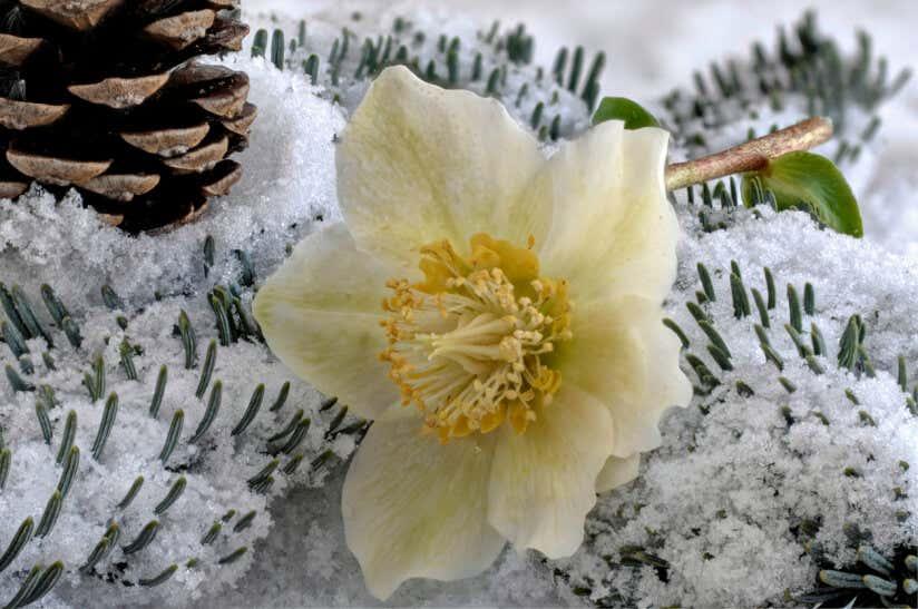 Christrose liegt auf schneebedeckten Tannenzweigen