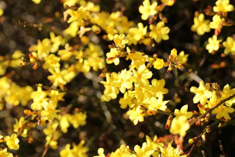 Die gelben Blüten des Winterjasmins