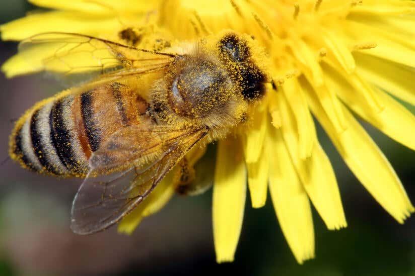 Eine Biene auf einem Löwenzahn