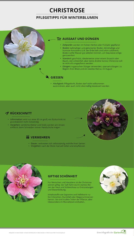 Infografik zu den Pflegetipps der Christrose