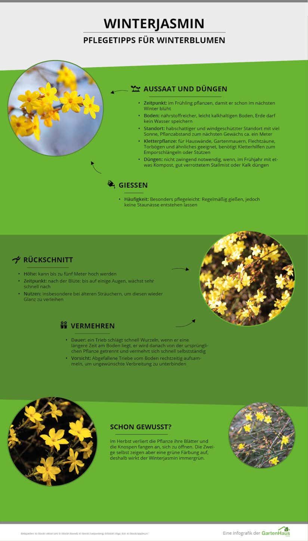 Infografik zu den Pflegetipps für den Winterjasmin
