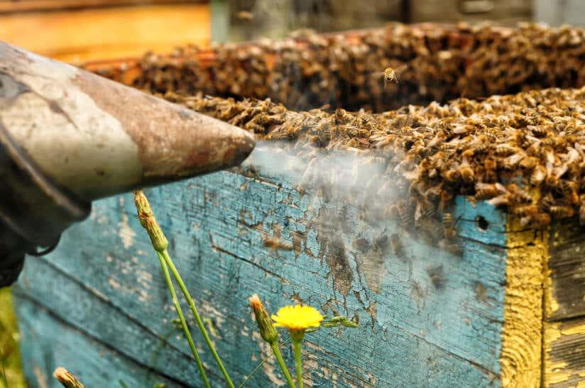 Mit einem Smoker werden Bienen beruhigt