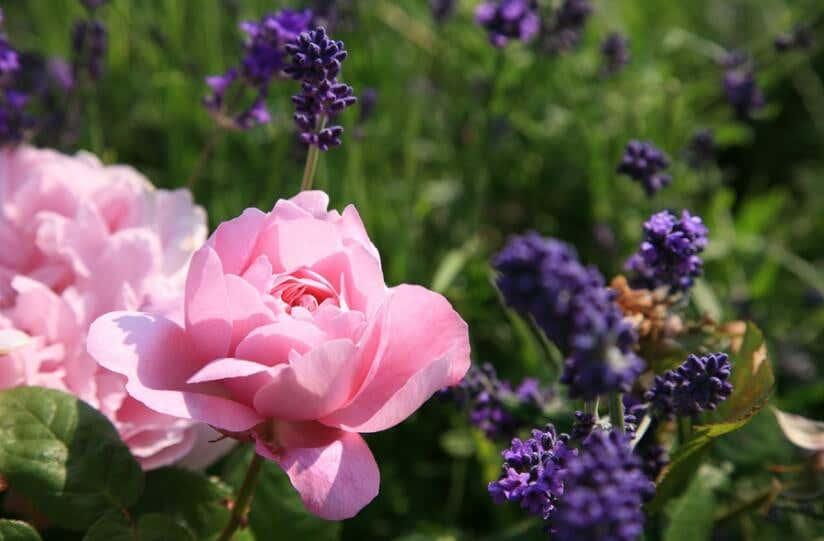 Rose und Lavendel Blüten