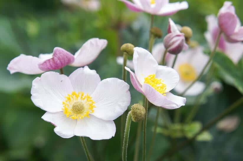 Herbstanemone Blüte